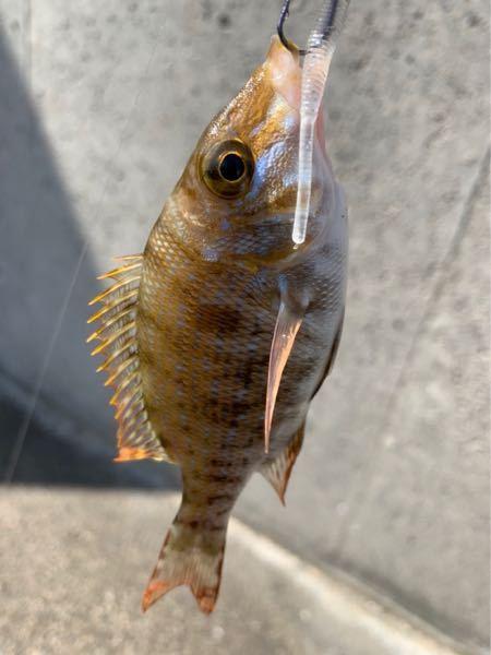 すいません、どなたかこの魚の名前教えていただきたいのですが。よろしくお願いします。
