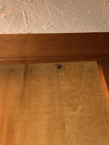 写真が見づらいのですが、この蜘蛛の種類を教えてほしいです