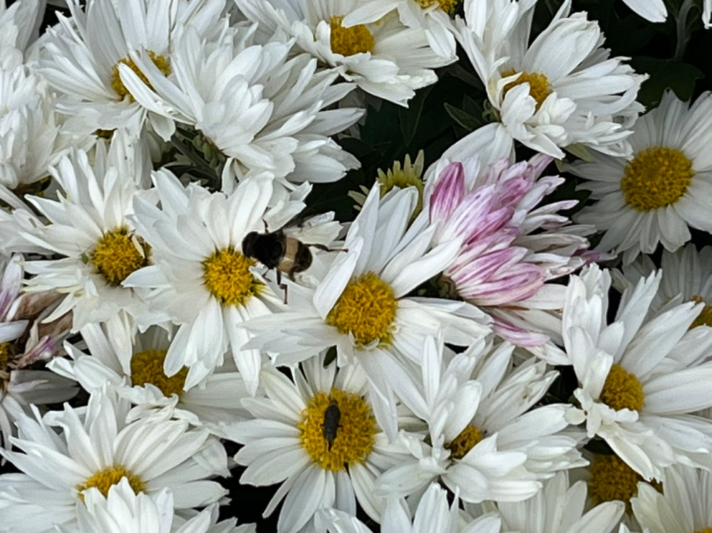 小さな蜂が花についていました。 名前を教えてください。