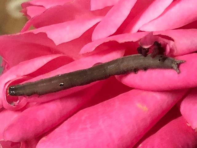 薔薇の花びらにいるのですが、この虫は何という虫なのでしょうか?幼虫なんでしょうか ?宜しくお願い致します。