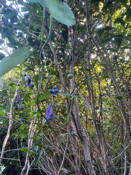 この紫色の豆のようなものがなっている植物はなんですか?