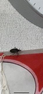 ブーンという羽音がしたので見てみると この様な虫が部屋の中に居ました。 この虫は何の虫でしょうか。 毒とかありますか? 回答宜しくお願い致します( ; ; )