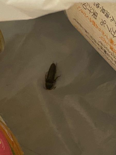 ちっちゃい昆虫?の死体があったのですがこれってゴキブリですか?