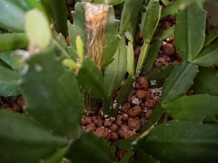【これは白絹病ですか?】 写真のシャコバサボテンの土の表面と茎のあたりに白いつぶつぶかあります。 虫の卵ではなさそうです。 隣に置いてあるポトスの鉢にも同じようなつぶつぶが土の表面にあります。