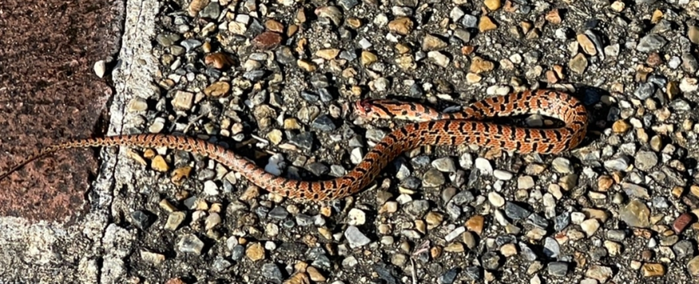 何のヘビですか?30センチくらいでまだ子どものヘビのようですが、毒があったら怖いです