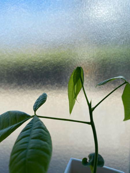 パキラについて質問です!種からパキラを育てているのですが、1番上の葉だけ、弱々しく開きません。どうしたら良いのでしょうか?よろしくお願いします。