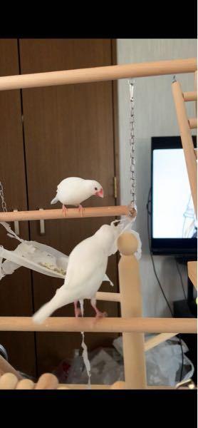 自分の飼ってる文鳥、この様にたまにポッピング?チッチっと鳴きながらぴょんぴょん跳ねて嘴を止まり木に擦りつける行為をするのですが、普段は近づくとすぐ突き合って喧嘩を始めます。仲がいいのか悪いのかど...