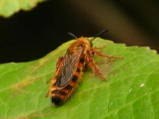このハチの名前教えて下さい。