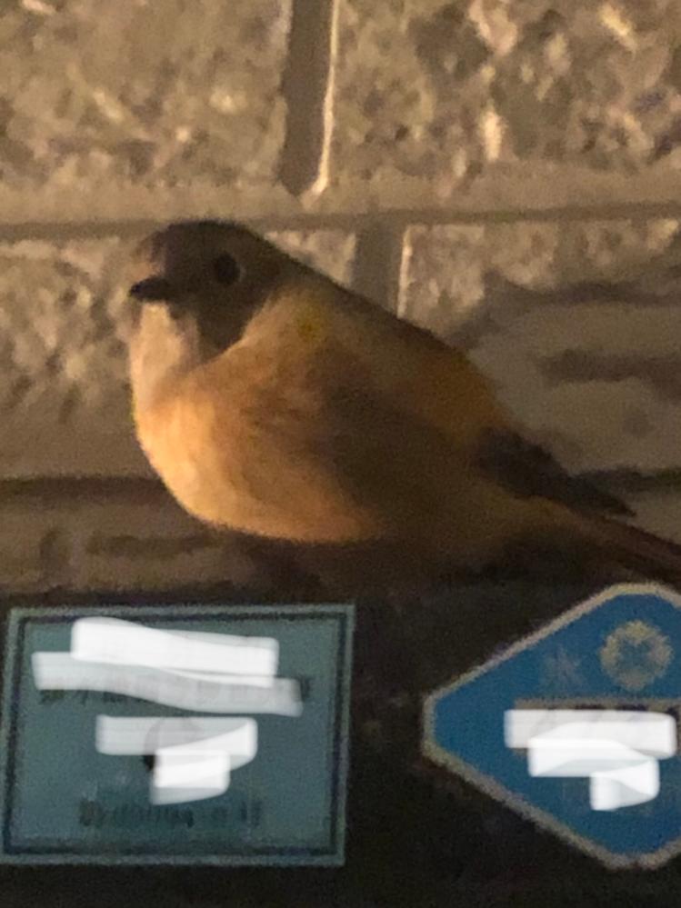 この鳥さんはなんて鳥ですか? 帰宅時に玄関サッシの上にいましたが、それ以後4-5時間は居ます。 エサもないような所ですが大丈夫なんでしょうか?