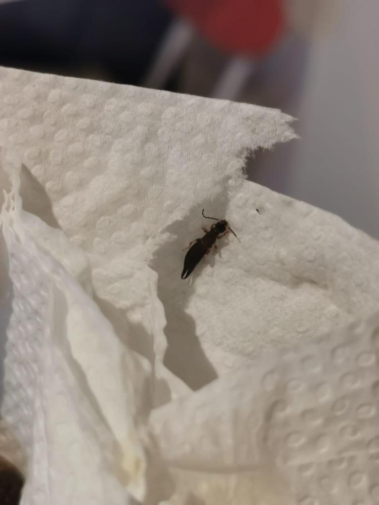 この虫はなんという虫でしょうか?ペットのトイレシーツについていました。寄生虫じゃないかと心配です。
