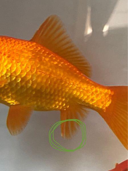 金魚飼育に詳しい方ご下さい。 数日前に金魚の鰭に白い出来物を見つけました。 鰭全体に広がる感じでも無く、1箇所のみです。 病気の初期症状でしょうか? または、ニキビの様な物なのでしょうか?