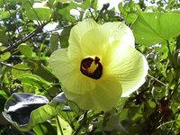 沖縄の花『ゆうな』の花言葉を教えて下さい!!!! 沖縄に咲いている『ゆうな』という花ですが、 (別名オオハマボウ/ヤマアサ)  花言葉を知っている人がいたら是非教えて下さい!!!  頑張って検索して...