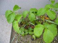 スイセンの毒について。  苺を植えた所からスイセンが生えてきました。  土に中では根が接触していると思います。  この苺は実がなっても食べない方がいいでしょうか?  スイセン自体を食べなければ問題...
