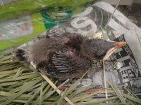 このヒナは何の鳥でしょうか。 先日職場の裏口に巣から落ちたようなヒナがいました... . 職種柄、育てるのは可能で世話はしてますが、何のヒナかがわかりません。 ごみをつつきに来てるのは主にカラスと鳩です...