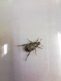 これはなんという虫ですか?  体長1センチ位で 背中に模様があり 触角が三つ又に分かれてます。    先程職場に迷い込んできました