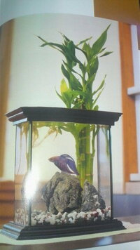 根がずっと水に浸かっていて、葉が空気に触れた状態でも生きる植物を教えてください。 画像のような状態の水槽を立ち上げようと思っています。ですが、どうもこの植物(ミリオンバンブー)では根が水に浸かった状...