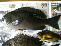グレの種類? 今日、グレを釣りましたが、画像の魚は「尾長」or「口太」のどちらでしょうか? ネットで検索しても、よくわからなかったもので...