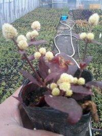 赤い茎に 赤い葉 白い 丸い 花みたいなのが 咲いてます 名前がわかりませんご存知の方いませんか