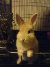 耳長すぎではないか・・・ 今私の家には生後2ヶ月になるオスのネザーランドドワーフがいます 1週間前にウサギ専門店で飼い血統書も付いています。 価格は28000円でした。  父親の耳の長さは3.2cm(グランド...