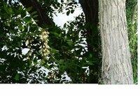 この樹はなんて樹でしょうか? 藤のような白い花が咲いており、まるい葉っぱです。幹は写真のような感じです。