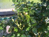 つるバラ「ピエール・ド・ロンサール」ですがつぼみが多すぎでしょうか? 去年苗木を庭に植えたのですが昨年は花が2個しか咲きませんでした。 今年は今日まで花が3つ咲きましたがつぼみをたくさん付けていて これからが楽しみです。 しかし知り合いがつぼみが多いときは、小さいつぼみを取ったほうがいいと 言うのでこちらでも聞いてみようと思い投稿しました。 つぼみは少し間引きしたほうがいいのでしょ...