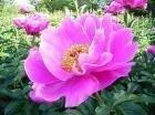 【質問】 芍薬の長 百薬の長 どちらが正しいのでしょうか? そして、誤解される方はいますでしょうか?  ボタン科の多年草として有名な芍薬 芍薬は花の宰相、「花相」とされてますよね そんな、芍薬を見な...