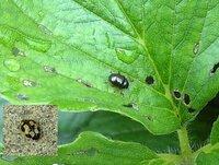 この虫は何ですか? イチゴの葉が虫食われ状態になっているのですが、 この2種類の虫が大量にいました。