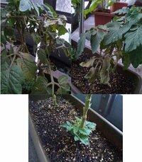 ミニトマトの葉が黄色くなって枯れていきます。 1ヶ月ほど前に、苗を購入してベランダでプランターでミニトマトを育てているのですが、 茎と葉が黄色くなって、枯れてきました。 一度は実がなり、その後も花は...