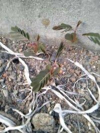 オジギソウに似ているけど閉じない…この植物はなんですか? 家のすぐそばに生えていました。触ってみましたが反応しません。夕方には葉を閉じましたが…写真は夕方の物なので葉を閉じてます。