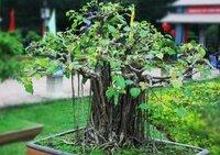 インドボダイジュの育て方 種から画像のように育てるには種を密集して植えればいいのでしょうか?