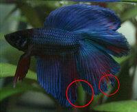 尾腐れとヒレ裂けの見分け方を教えて下さい。 尾腐れとヒレ裂けでの動きの違い等あったら教えて下さい。  画像の〇部分は尾腐れでしょうか? それともヒレ裂けでしょうか? 飼いだしたとき(1ヶ月前)と泳ぎは変わっていません。 普通に泳いでます。