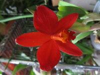 カトレアについてです ミニカトレアなのですが品種名が分かりません。 花の大きさは4CMぐらいで1輪咲きです。 色は赤ではなくオレンジと赤の中間のような色です。