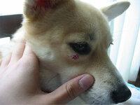 犬の目の下に大きなできもの、これなんですか??? 写真のように、犬の目の下におおきなできものができています。 これって何か悪い病気なのでしょうか????
