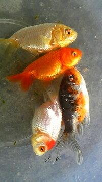 金魚,錦鯉の専門店でらんちゅうといわれて買ってきました。純正のらんちゅうじゃない気がするのですが,大きくなったららんちゅうらしくなりますか?  あと,三色のヤツはなんですか??