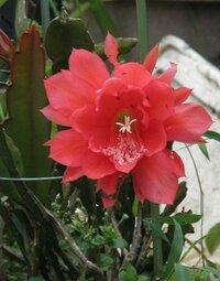赤い大きな花。♪ 早朝散歩で見たものです。 これはサボテンの花でしょうか?
