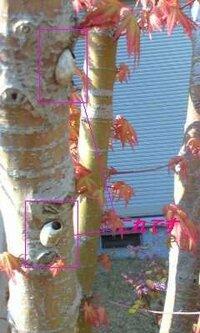 もみじの木に2cm程度の貝のような ものがついています。 これは何でしょうか? また、駆除しないといけないものですか? よろしくお願いします。