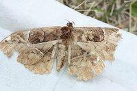 山の散歩道で 地面に落ちている蛾見つけました。 始めて見る蛾ですので、名前を知りたいと思います。 よろしくお願いします。
