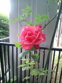 このバラの種類がわかる方はいらっしゃいますか?  背丈は大人の背丈程あり、下の方の主軸は木質で、茎はつる状に伸び、花が咲くと重さで垂れ下 がるくらいです。 なので、花もわりと大きめの、大人の手を少し指を曲げた程度で花全体を掴めるくらいです。 色は写真だと少しわかりにくいかもしれませんが、ピンクに近いオレンジのような色で、他の場所に赤と薄いピンクがやはり同じように咲いています。 だいたい5月に...