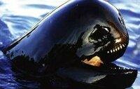 このゴンドウクジラの写真は化け物としか言いようが無いんですけど…。  ゴンドウクジラの顔は光の当たり具合で、こんな顔に見える時があるのでしょうか?  現代の恐竜、オキゴンドウじゃないですよ~。