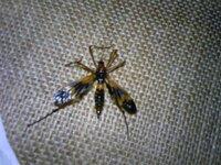 この虫は何なのでしょう? ハチのような羽・胴体にクモのような長い脚でとても気になります。