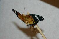 羽が切れてしまっている蝶の飼育方法を教えてください 庭に落ちていたツマグロヒョウモン蝶のさなぎを、おしりに木工用ボンドをつけてかわかしたあと、 瞬間接着剤で割り箸にくっつけてぶらさげて植木鉢にさして...