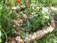 いちごの育て方 庭からプランターへ。難しいですか? いちごを庭からプランターへ植え替えしようと思ってますが、どうやったらいいですか? できるものですか?   毎年このまま放置してました。冬枯れて春に元...