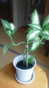 観葉植物についておたずねです 数年前にいただいた観葉植物です、少しずつ伸びてきましたが先のほうがまっすぐに伸びないで曲がっています。添え木をしたほうがいいでしょうか?また鉢には土ではなく木製チップ(...