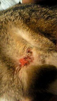 猫の耳に傷があるんですが… なんか猫が耳掻いてた時に傷作っちゃったみたいでそのあとかさぶたになったと思ったらまたかゆくなったみたいで掻いちゃって、でまたかさぶたなったら掻くの繰り返しでいっこうに治り...