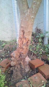 オリーブアナアキゾウムシにやられました。夏ごろに気づき、ネットで調べ、穴が開いているところをドライバーでほじくり、柔らかくなっている樹皮の部分を剥がしました。下記の写真。スミチオン散布予定なのですが 他に何かよい方法があれば教えてください。まだ助かりますか?結構やられています。それと樹皮を剥がすときに幹のきれいな部分も剥がれてしまいました。保護かなにかした方がいいのでしょうか?よろしくお願い...