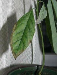 アボカドの葉が、縁から黒くなってきました。これは何でしょうか? 半年ばかり前に食べたアボカドの種から芽が出て、鉢植えにしています。 最近、葉の縁が黒く変色しはじめました。 これは何でしょうか? 防ぐ...