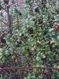 この低木の名前を教えてください。 今、黒い実?のようなものが付いてます。