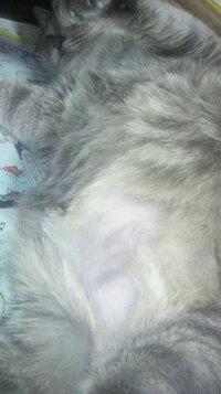 うちの猫のおなかがはげました。 うちの猫(♀ 15歳)のおなかがでかくはげました(おなかの下半分ほど 写真参照)。 湿疹等は見当たらず本人も気にしていないようなのですが、毛づくろいのたびなめてしまい若干血が滲んでいます…。 なめないようにしたいのですがとても怒られます。 原因等が分からずとても心配です。 獣医さんに連れていくべきでしょうか?