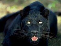 クロヒョウは突然変異ですか。 黒いトラやライオンも生まれる可能性はあるのですか。
