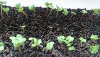 ラディッシュ 徒長後の対策について ラディッシュが発芽して、4~5日経ちました。 ぐんぐん成長していますが、徒長気味でしょうか?  場所は、外の日当たりのいい場所。 水やりはまだ土が完全には乾いてないので発芽してから1回もしてません。 土はゴールデン粒状培養土です。 元肥入りの培養土なので、肥料は与えていません。   徒長・・・何が原因でしょうか。 徒長しないように日当た...